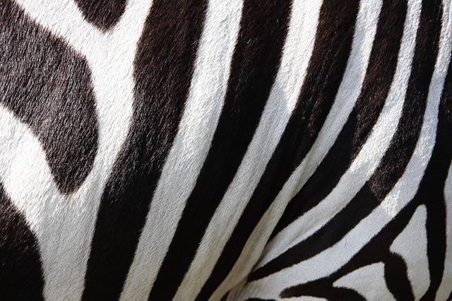 Free               pets zebra zebra crossing stripes black and white