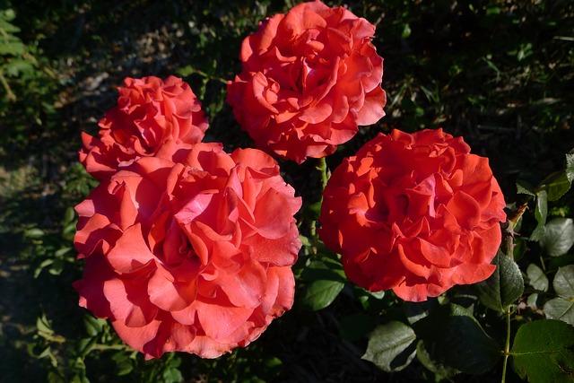 Free flower rosa color garden pink dark pink