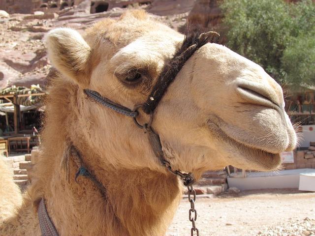 Free camel desert wadi petra jordan