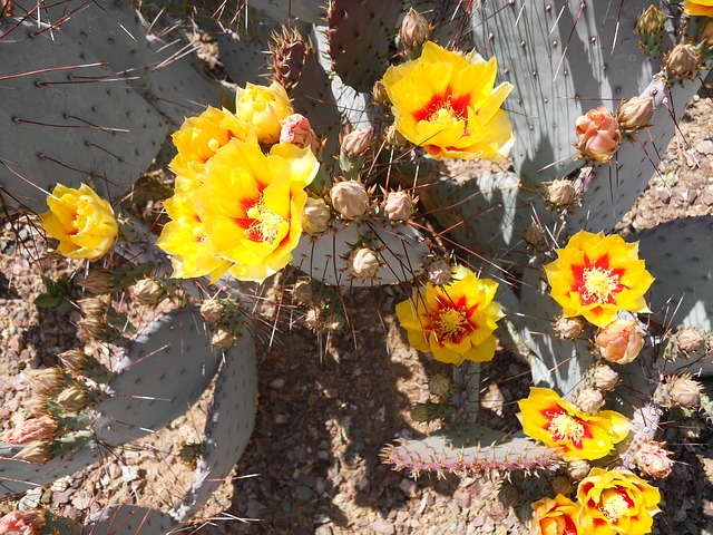Free cactus bloom prickly pear flower arizona plant