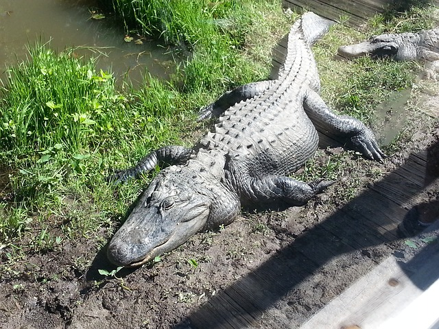 Free alligator reptile wildlife animal