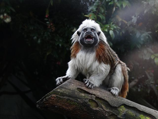 Free cotton top tamarin saguinus oedipus monkey primate