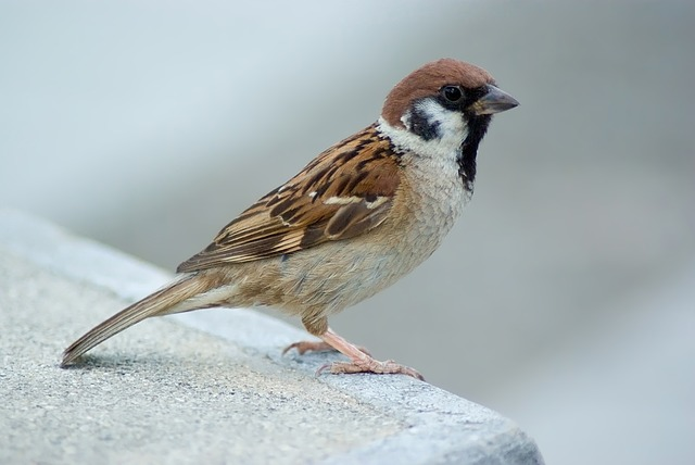 Free tree sparrow sparrow bird nature outside macro