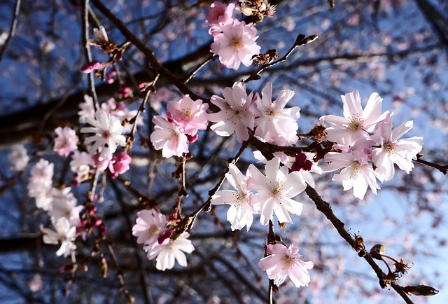 Free spring flowers pink white sky blue tree raced