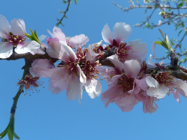 Free almond blossom spring flowers pink flower tree