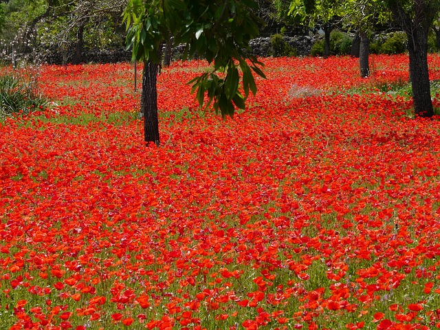 Free red poppy field of poppies poppies red nature