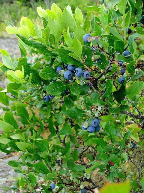 Free blueberry bush shrub highbush blueberries growing