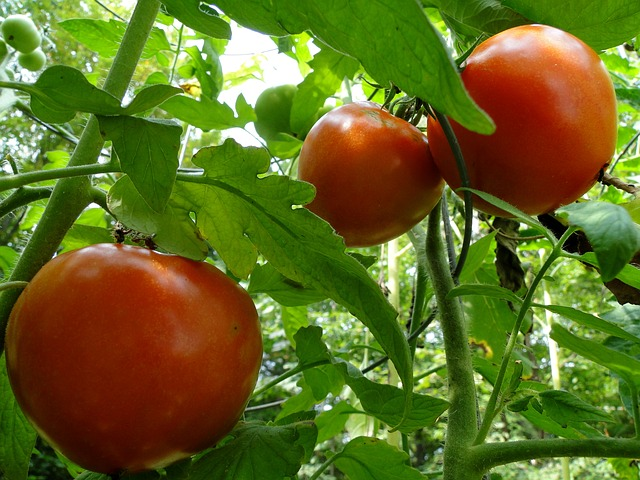 Free tomatoes tomato vine red garden plant growing