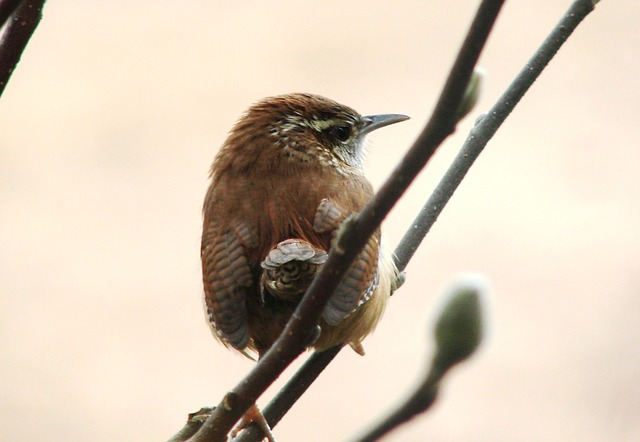 Free birds house wren animal