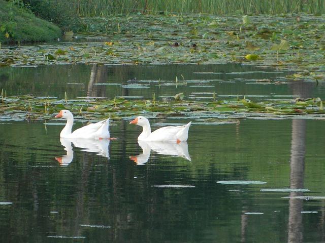 Free duck mallards pond