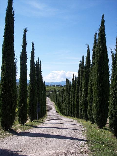 Free cypress cypress trees backlight tuscany treetops