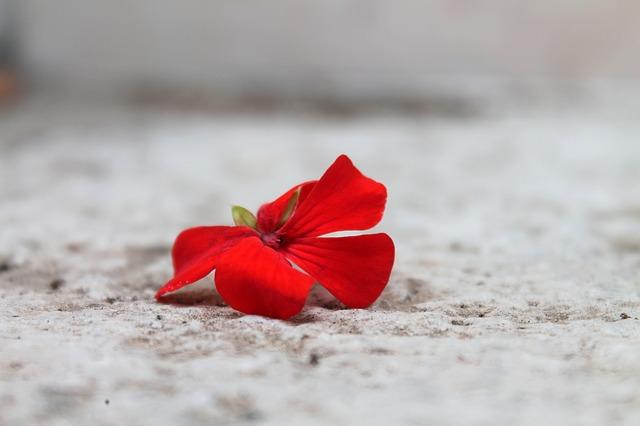 Free geranium red flower gerani bloody geranium flora