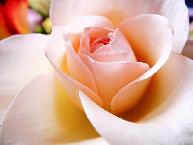 Free Photos: Petal flower rose pink | xuuxuu