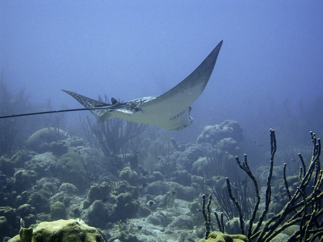 Free underwater diving ray