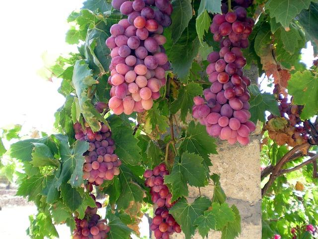 Free grapes grape vine wine fruits vines fruit sweet
