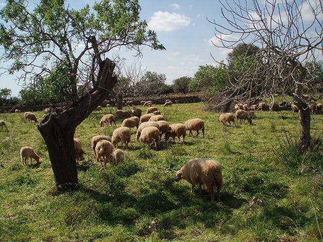 Free idyll sheep flock of sheep pets flock
