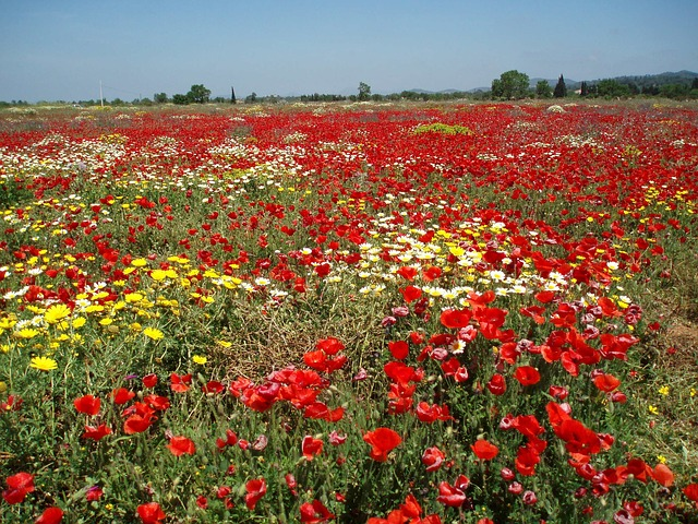 Free field of poppies poppy landscape red field nature