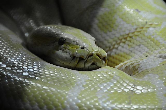 Free python snake boa constrictor reptilium reptile