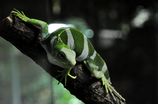 Free fiji iguana iguana lizard reptile striped green
