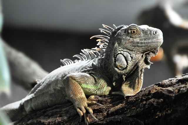 Free lizard reptile grey comb animal