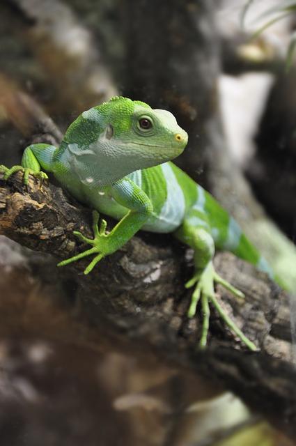 Free fiji iguana iguana lizard reptile iguanas nature