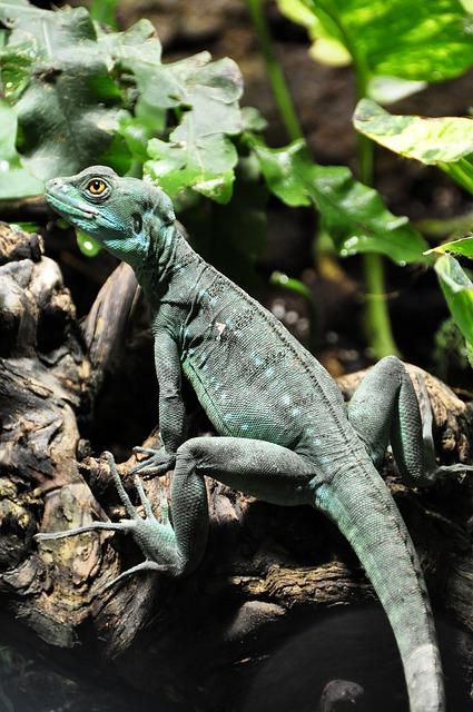 Free frontal lobe basilisk basilisk lizard