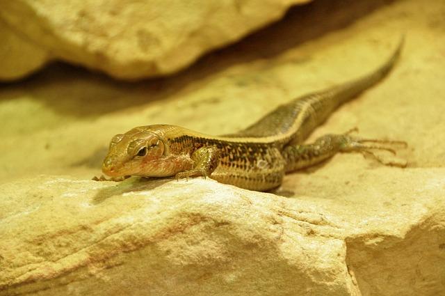 Free lizard pets reptile creature
