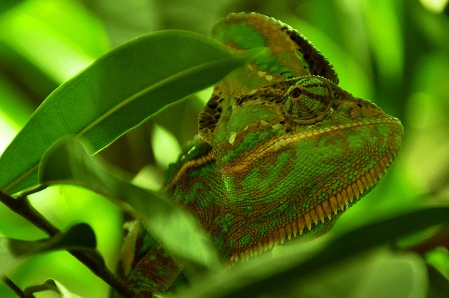 Free                chameleon reptile animal green head eye close