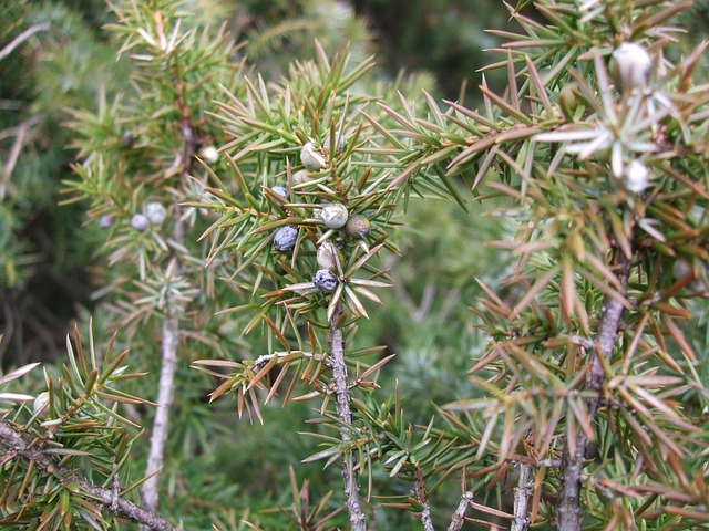 Free juniper green pointed spring nature berries