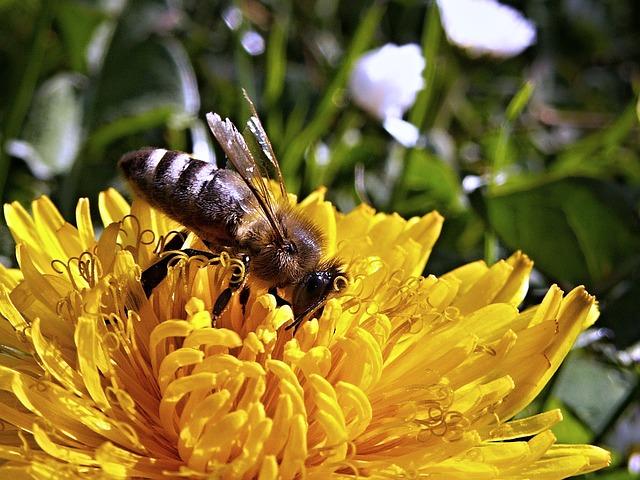 Free               bee dandelion macro spring nature garden flower