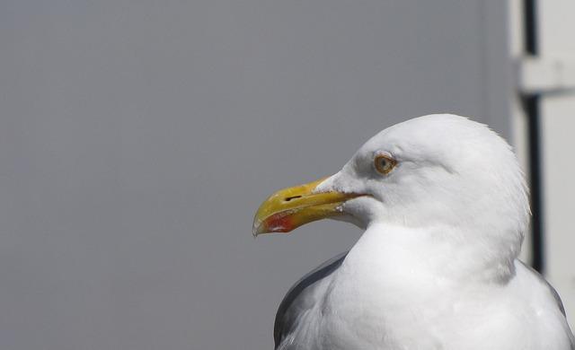 Free lurking food seagull wait bill