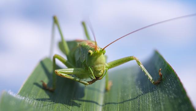 Free               viridissima grasshopper macro close green