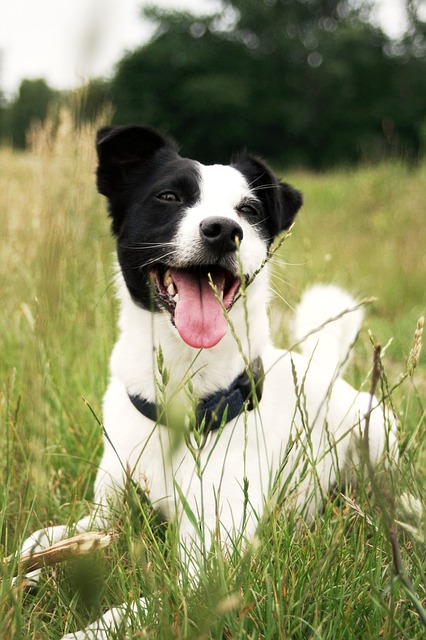 Free dog jack russell animal grass nature tongue cute