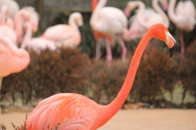 Free flamingo pink bird nature tropical animal