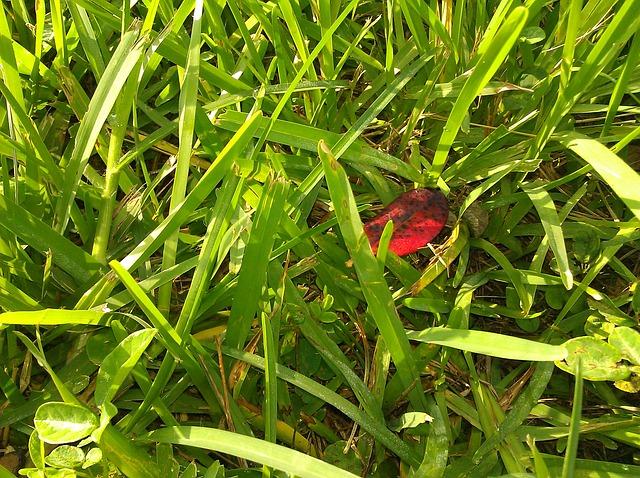 Free grass red leaf leaf
