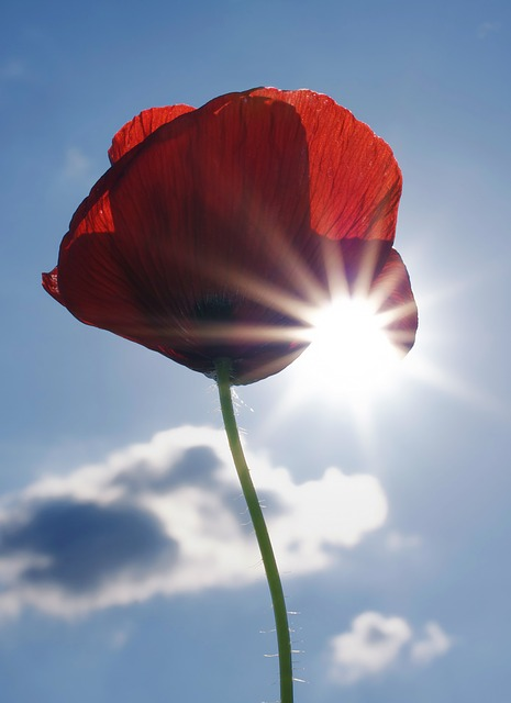 Free poppy poppy flower flower red sky blue clouds