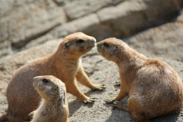 Free prairie dog animals rodent alert zoo