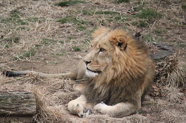 Free lion zoo resting