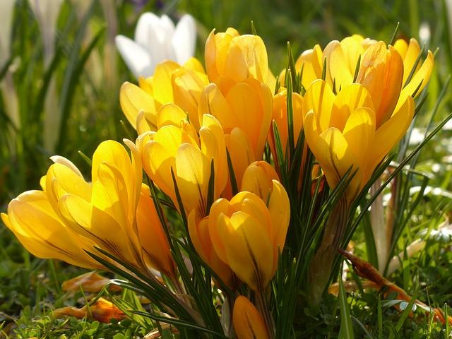 Free crocus yellow white bloom flower plant nature