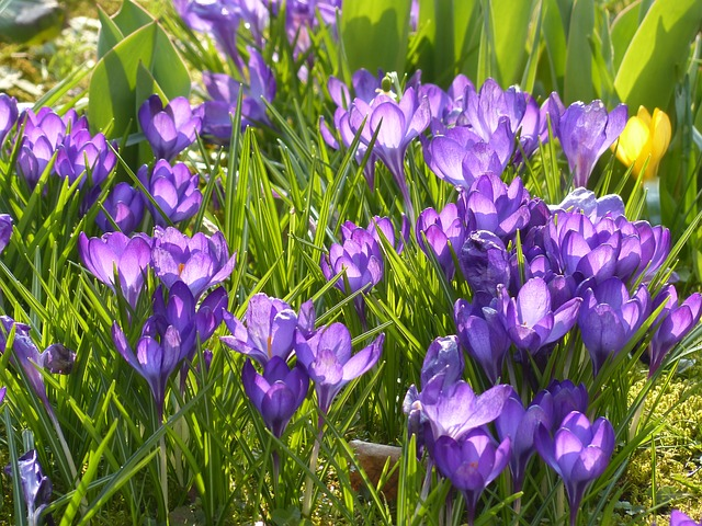 Free crocus yellow purple violet blue bloom flower