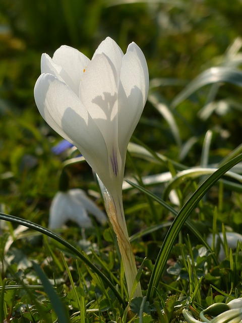 Free crocus white bloom flower plant nature spring