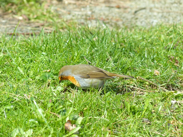 Free bird robin animal erithacus rubecula species