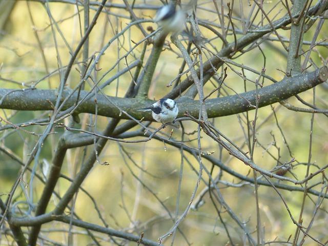 Free long tailed tit aegithalos caudatus sparrow bird