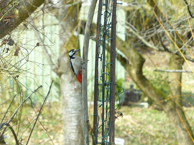 Free great spotted woodpecker dendrocopos major bird