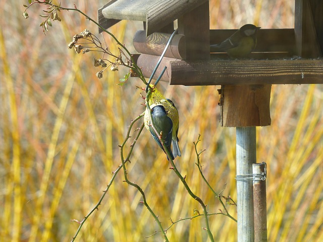 Free Photos: Tit parus major paridae passeri songbird bird | Hans Braxmeier