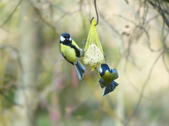 Free tit parus major paridae passeri songbird bird