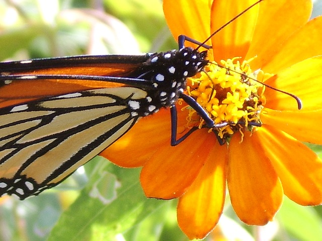 Free butterfly monarch flower insect