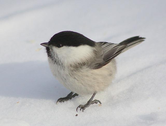 Free bird winter snow close-up macro beautiful