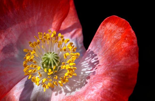 Free               poppy poppy flower macro close pollen stamp