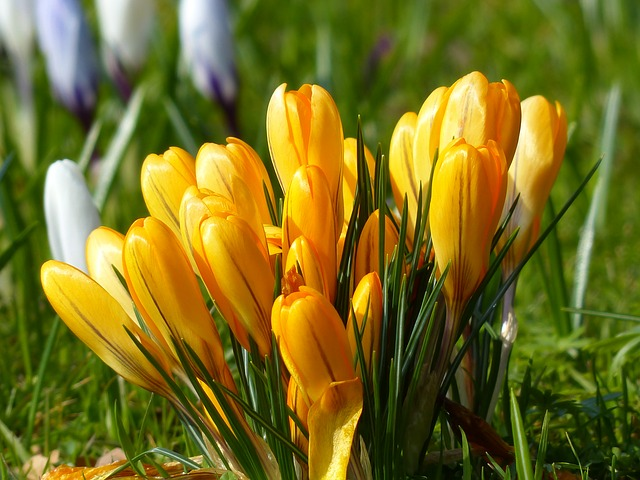 Free crocus yellow bloom flower plant nature spring